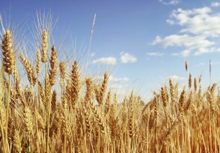 Россия как новая «пшеничная» сверхдержава и продовольственная безопасность стран-импортеров