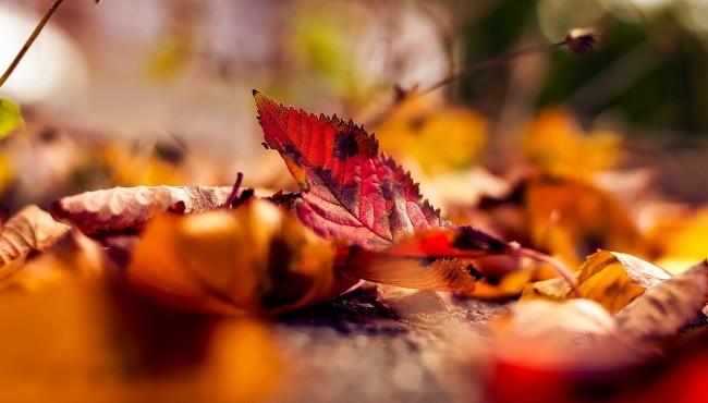 Осенний ковер в твоем дворе: быть или не быть?