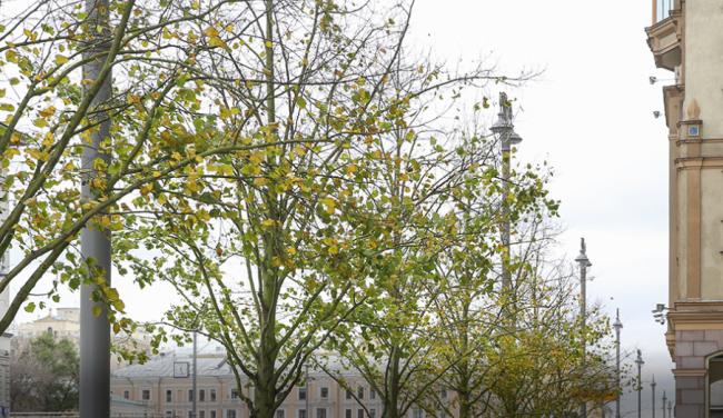 Историческая липовая аллея на Тверской: как проходит программа «Моя улица»